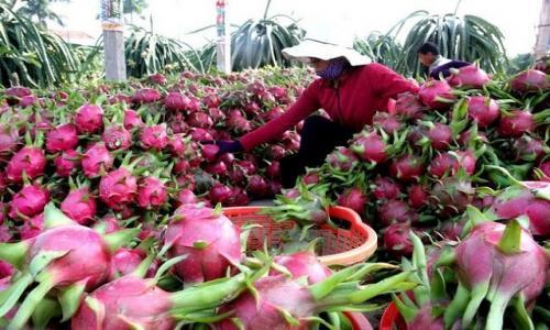 Trung Quốc dừng nhập thanh long Việt Nam
